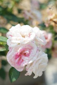 rosenbaum